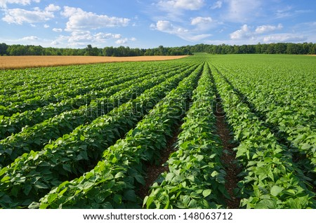Vast Farm Field Growing Pototoes and Wheat - stock photo