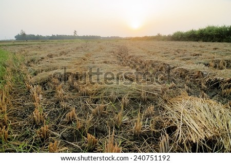 Vast Rice field being cultivated in India