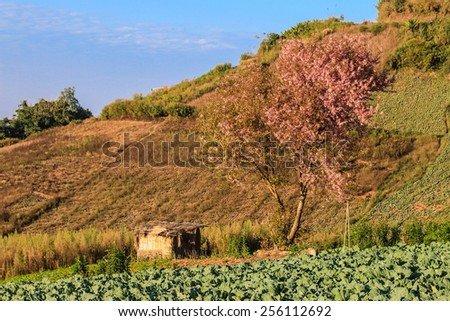 Vegetable farm at mountain, Phu tup berk, Phitsanulork : Thailand - stock photo