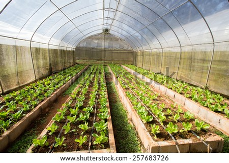 vegetable farm, indoor cabbage and salad vegetable farm in Thailand - stock photo