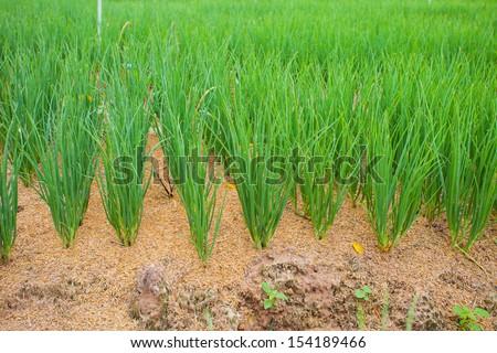 vegetable garden thailand - stock photo