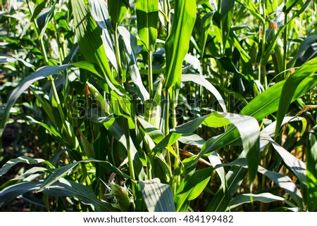 Vegetable garden which grows beet crop, and the field corn. Green fresh corn on the young branches