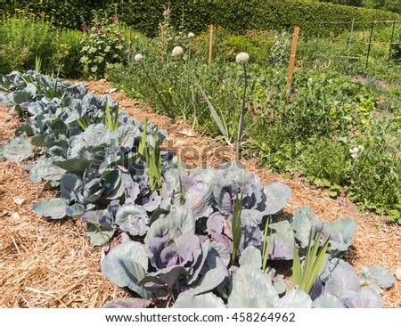 Vegetable garden with cabbages - stock photo