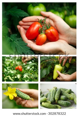 Vegetable harvesting collage.Locavore, clean eating,organic agriculture, local farming,growing concept. Selective focus - stock photo