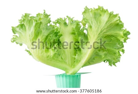 Vegetable, Pot of Fresh Green Oak Lettuce Isolated on A White Background. - stock photo