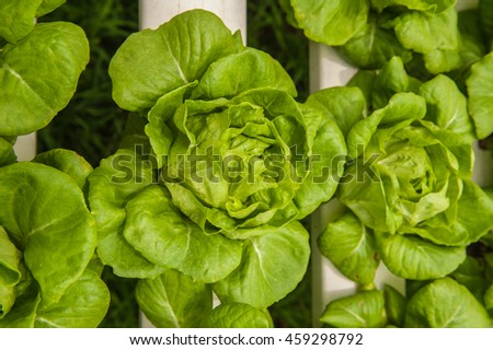 Vegetables and hydroponics cultivation in greenhouses