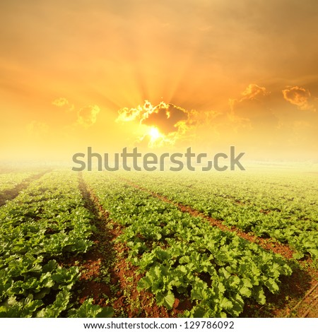 Vegetables fields and Sunset - stock photo