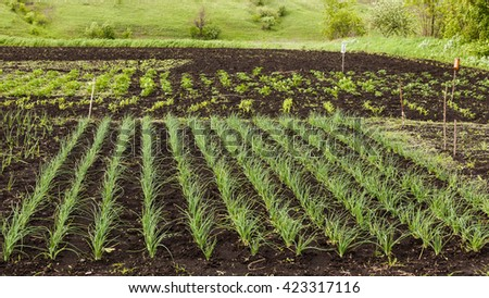 Vegetables grow on the ground at backyard - stock photo