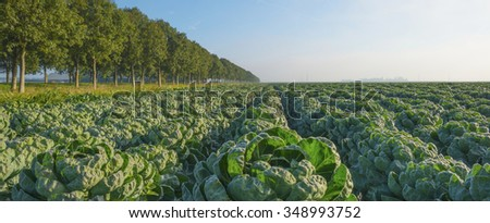 Vegetables growing in a field at dawn
