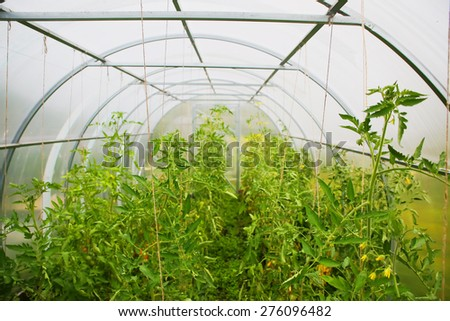 vegetables tomato seedlings in the greenhouse - stock photo