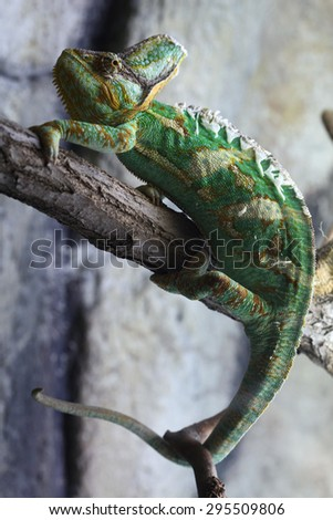Veiled chameleon (Chamaeleo calyptratus), also known as the Yemen chameleon. Wildlife animal.  - stock photo