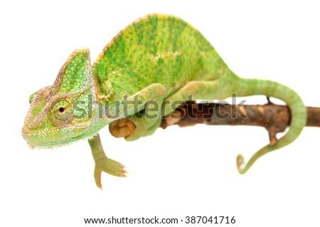 Veiled chameleon Chamaeleo calyptratus isolated on white. - stock photo