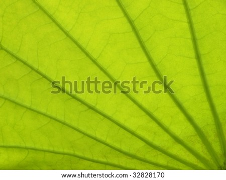 Veins and texture of lotus leaf - stock photo