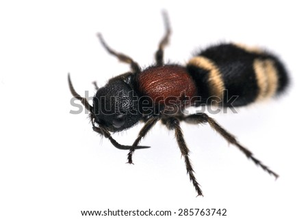 Velvet ant Mutilla europaea isolated on white. - stock photo