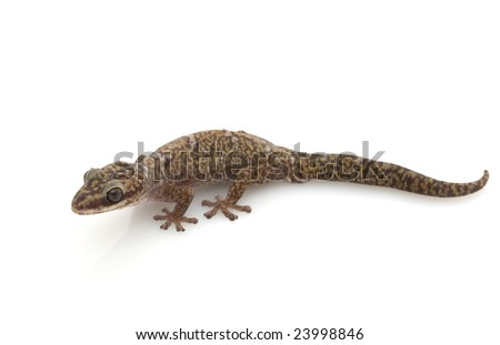 Velvet Gecko (Oeodura monilis) isolated on white background.