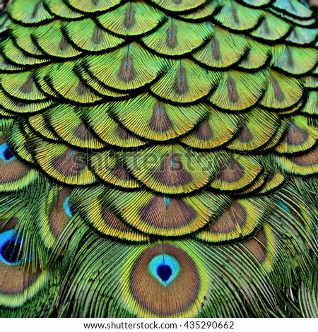 Velvet green and golden pallets background of Indian Peacock feathers, the most beautiful texture - stock photo