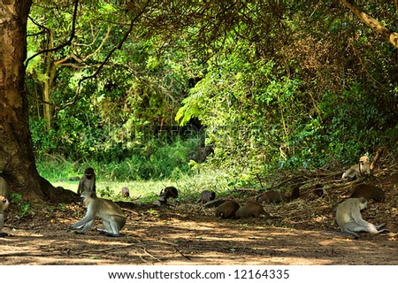Velvet monkeys and mongooses in camp's park. Shot in Sodwana Bay campsite, KwaZulu-Natal province, Southern Mozambique area, South Africa. - stock photo
