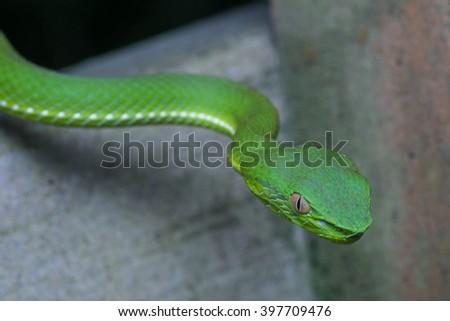Venomous green viper close-up - stock photo