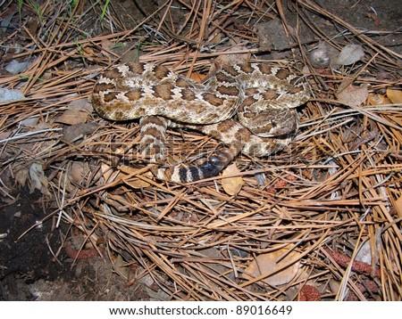 Venomous snake in pine needles - Northern Pacific Rattlesnake, Crotalus oreganus oreganus - stock photo