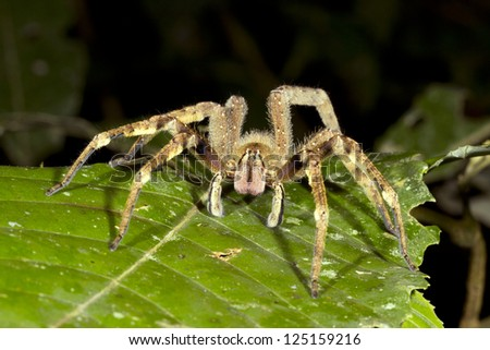 Venomous wandering spider (Phoneutria fera) looking at the camera, Ecuador - stock photo