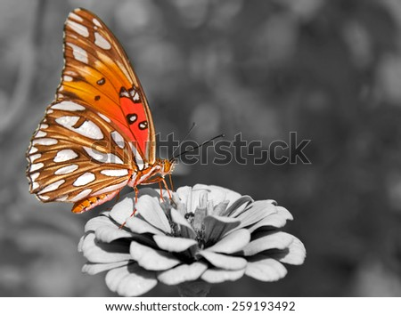 Ventral view of a Gulf Fritillary butterfly feeding on a Zinnia; color spot on black and white - stock photo
