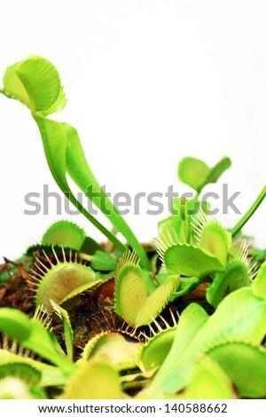 Venus fly trap - stock photo