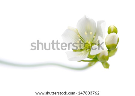Venus Flytrap Flower with Buds on White Background - stock photo