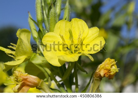 Verbascum. Mullein in bloom medicin plant - stock photo