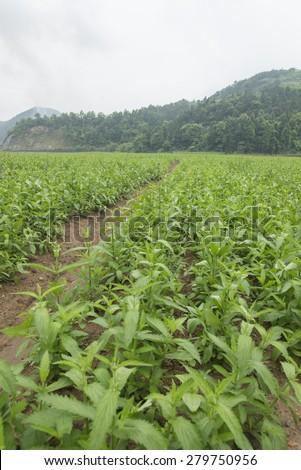 Verbena planting - stock photo
