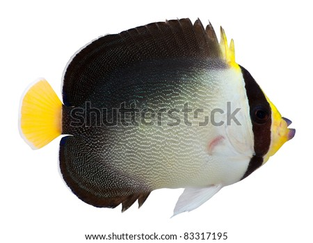 Vermiculated Angelfish isolated on white background. Chaetodontoplus mesoleucus