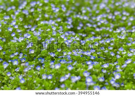 Veronica filiformis (Slender speedwell) in natural habitat. - stock photo