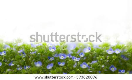 Veronica filiformis (Slender speedwell) in natural habitat. With white copyspace for all uses. - stock photo