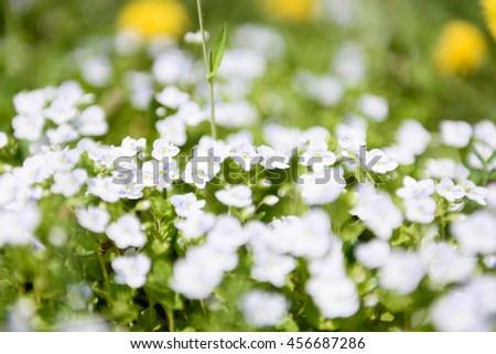 Veronica filiformis Slender speedwell white blue little flowers dandelions background - stock photo
