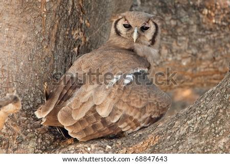 Verraux's Eagle Owl, Chobe National Park, Botswana - stock photo