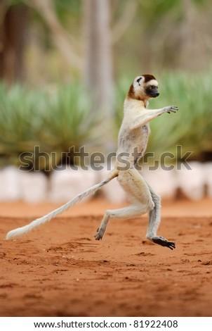 Verreaux's Sifaka (propithecus verreaux) dancing in the Berenty Reserve, Madagascar - stock photo