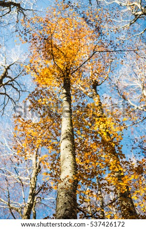 Vertical close view of a focused beech trunk and blurred colorful golden autumn treetop on a blue sky background