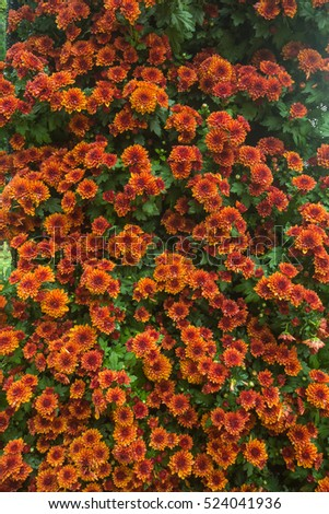 Vertical garden of out door garden growing chrysanthemums , begonias.