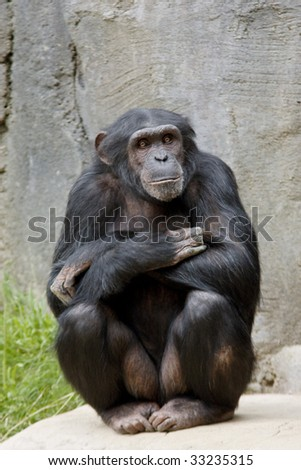 Vertical image of a chimpanzee posing with crossed arms. - stock photo