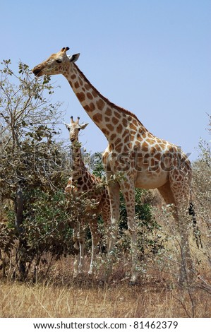 Vertical image of a mother and baby giraffe eating from a tree in Niger - stock photo
