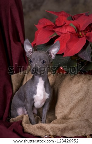 Vertical image of a six month old blue chihuahua puppy shot in studio on a holiday themed Christmas background. - stock photo