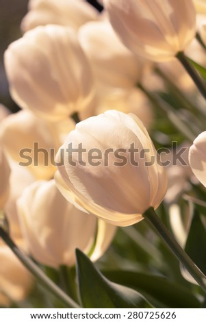 Vertical image of toned image of tulips in full bloom. - stock photo