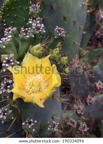 vertical orientation close up of a prickly pear cactus in full bloom, with copy space / Flowering Cactus - stock photo