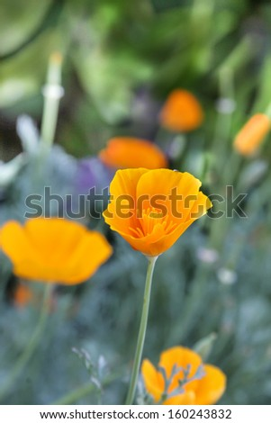 vertical orientation close up of the California Poppy, California's State Flower with copy space / The California Poppy - California's State Flower - stock photo