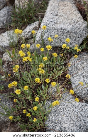 vertical orientation close up of yellow wildflowers growing among granite rocks near Alta, Utah, USA, with copy space / Yellow Wildflowers and Granite - Vertical - stock photo