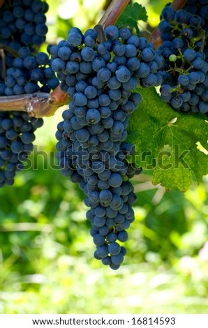 Vertical photo of large bunch of ripe purple grapes ready for harvest at Virginia vineyard