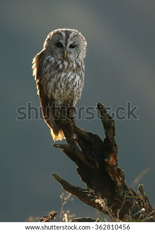 Vertical photo of one Strix aluco,Tawny Owl, perched on top of old root in backlight in early morning,curiously stares at camera. Blurred background. Nice diagonal composition. - stock photo