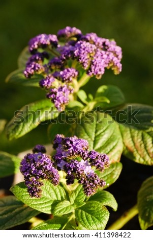 Vertical photo of two groups of purple heliotrope blooms and buds with nice green leaves which are visible too.  - stock photo