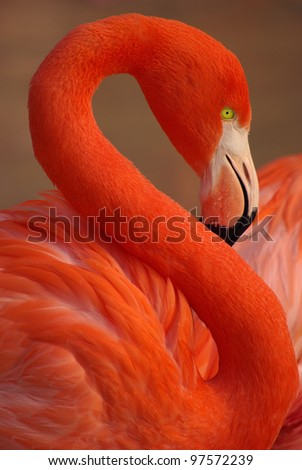 Vertical portrait of a greater flamingo