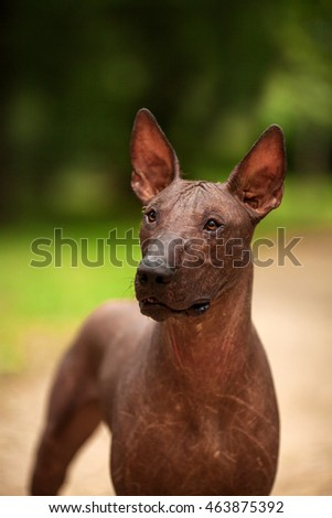 Vertical portrait of one dog of Xoloitzcuintli breed, mexican hairless dog of  black color of standart size, standing outdoors on ground with green grass and trees on background on summer sunny day