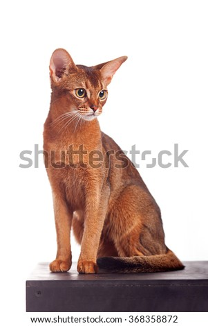 Vertical portrait of one domestic cat of Abyssinian breed with yellow eyes and red short hair sitting on isolated background - stock photo